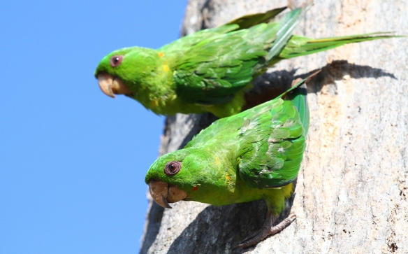 Known for their loud and raucous calls, Green Parakeets were observed surprisingly-close during yesterday morning's bird walk. In addition to the rich shades of green, what other colors do you see on these two beautiful birds?