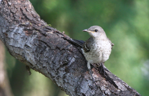 Juvenile Northern Mockingbird. The pink base of the bill and mottled frontside are field marks that show this is a young Northern Mockingbird. Adults would be dark-billed, and would have an evenly-pale frontside.