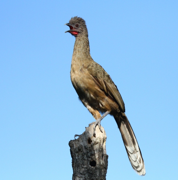Far from being shy, the Plain Chachalaca give very loud and unique calls!