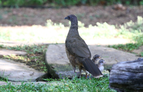 Plain Chachalacas are busy raising their young at Quinta Mazatlan this time of year! I wonder how much longer it will be until the little ones begin taking after their parents, and begin to give those classic squawking calls!
