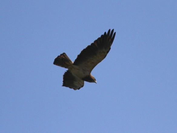 Swainson's Hawk Erik