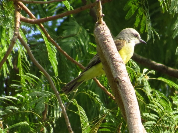 Tropical Kingbird fledgling