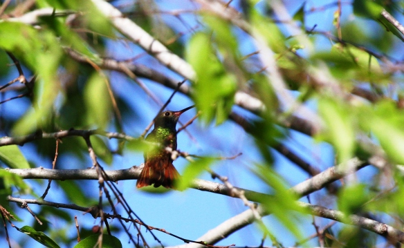 A Buff-bellied Hummingbird takes a breakfast break