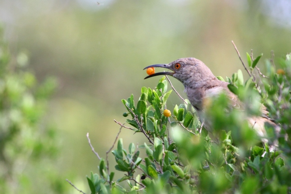 Here a Curve-billed Thrasher enjoys breakfast... a granjeno berry