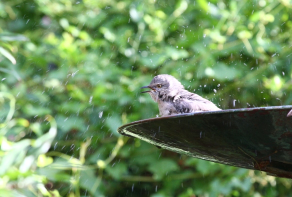 Northern Mockingbird bathing