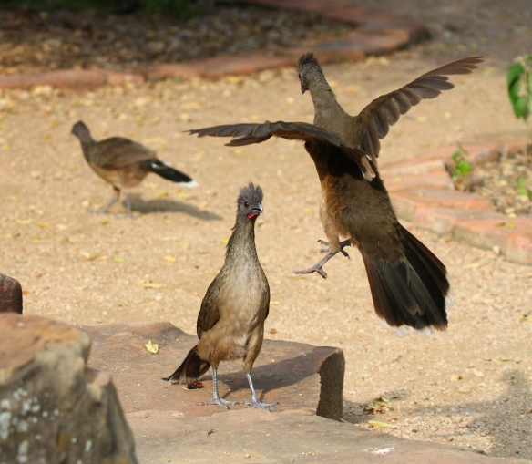 Two male Plain Chachalacas compete for the female chachalaca (background)