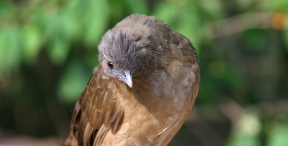 The Plain Chachalaca eyes up competition...