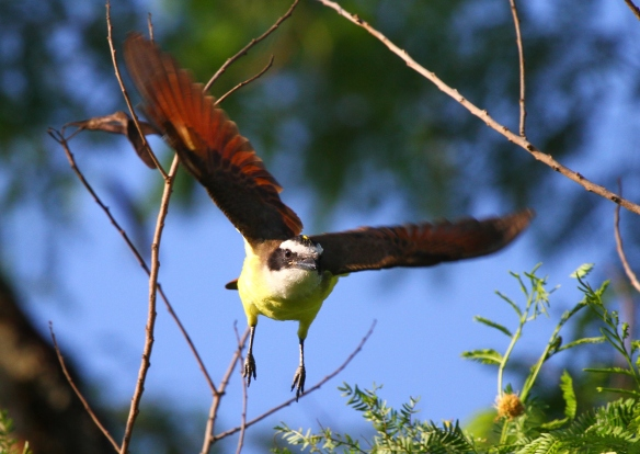 Great Kiskadee taking flight
