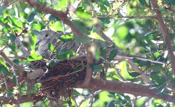 INDO nest