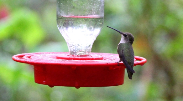 hummingbird sp