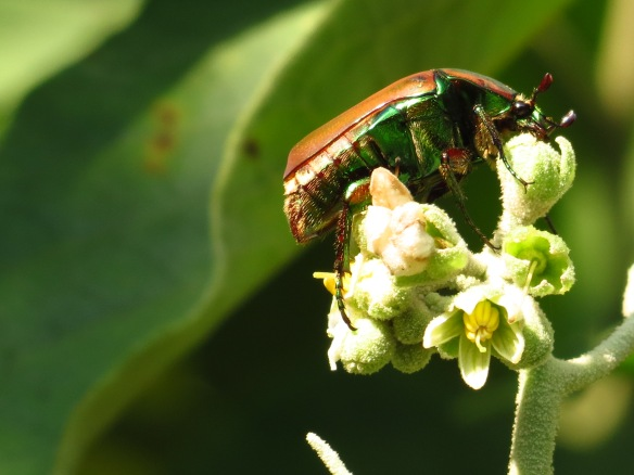 This Green June Beetle was feeding on the flowers of one of our Potato Trees, yet another example of the natural resources Quinta Mazatlan provides for wildlife!