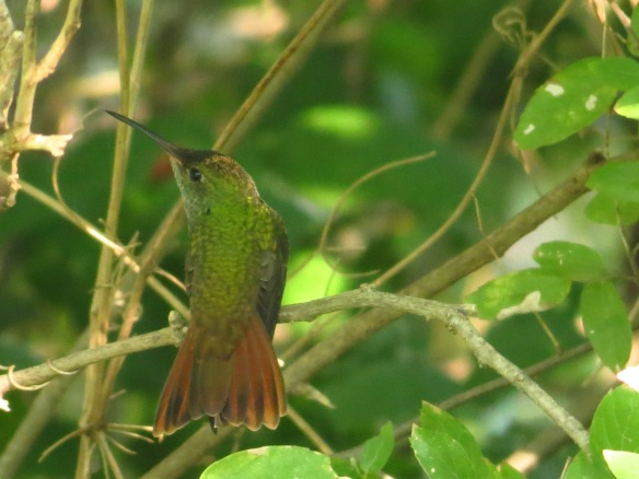Notice the yellow pollen on this Buff-bellied Hummingbirds head!