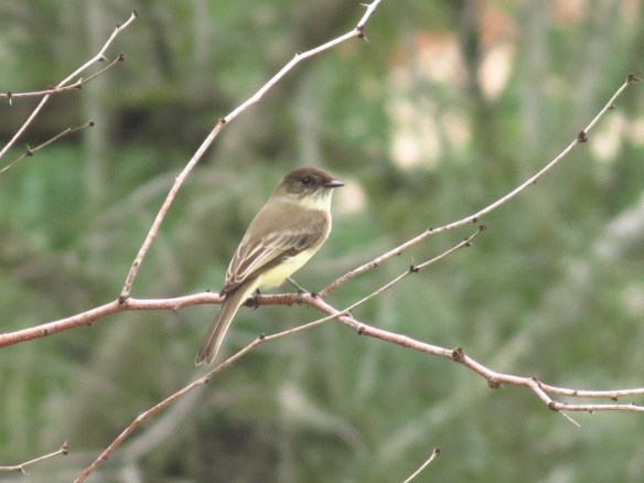 Eastern Phoebes are one of the Valley's common winter birds.
