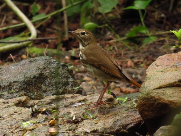 Hermit Thrush are one of our wintering birds - look in the shady forest for their subtle colors.