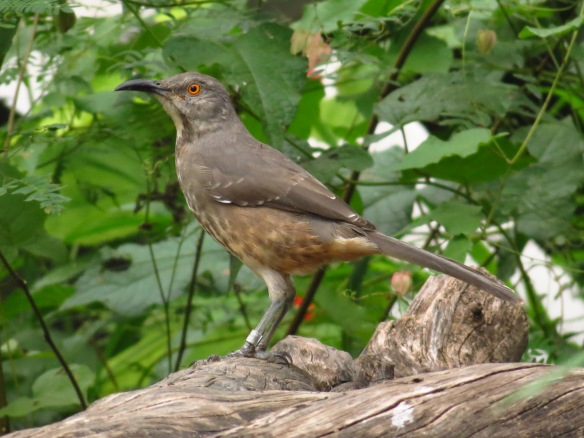 This Curve-billed Thrasher has some jewelry - a bird band!