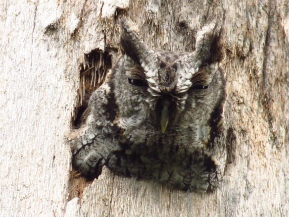 The Eastern Screech-Owl was poking its head out today.
