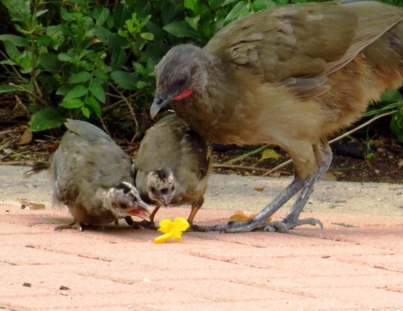 Plain Chachalaca chicks eating Esperanza (2)