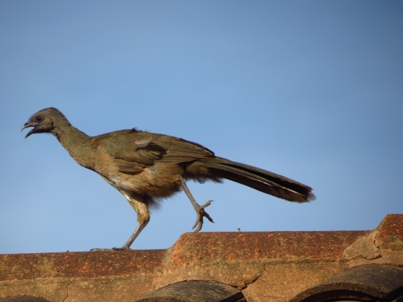 Plain Chachalaca roof-top running