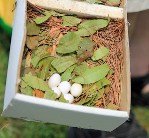 Purple Martin Eggs