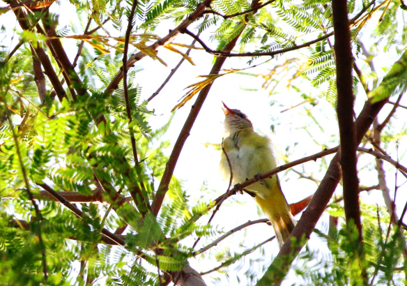 Yellow-green Vireo Erik photo