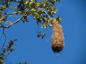 Altamira Oriole nest by John Brush