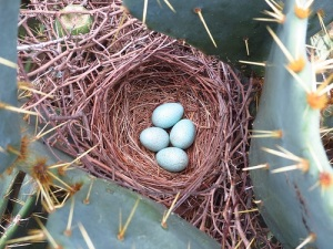 Curve-billed Thrasher nest by John Brush