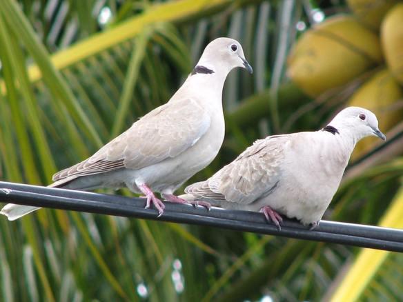 Eurasian Collared-Doves by Derek Iden