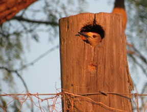 Golden-fronted Woodpecker cavity by John Brush