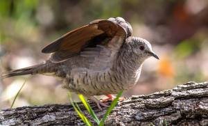 Inca Dove by Michelle Hockaday Summers