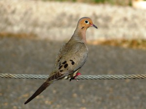 Mourning Dove by John Brush