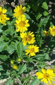 Spring-cowpen daisy