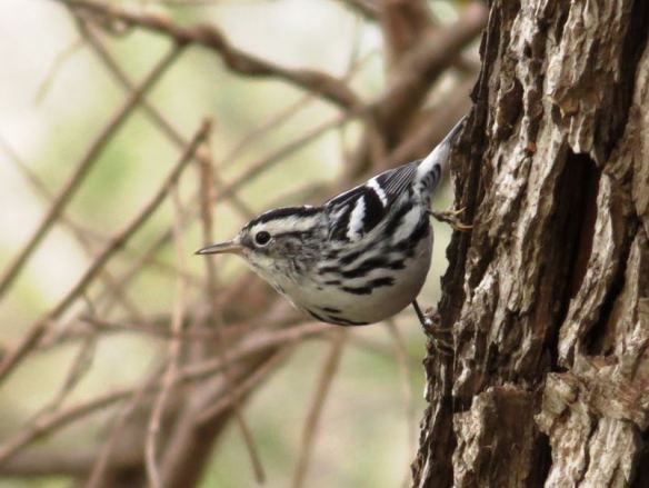 Black and White Warbler by John Brush