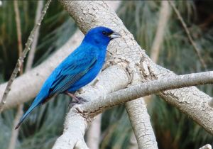 Indigo Bunting by John Brush