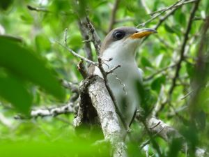Yellow-billed Cuckoo by John BRush