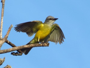 Couch's Kingbird by John Brush