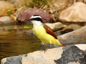 Great Kiskadee by John Brush