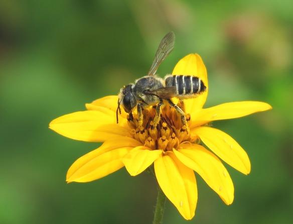 Megachilid Bee - John Brush
