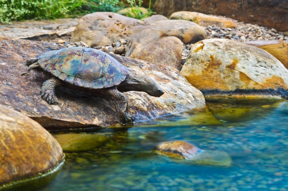 Red eared slidder turtle(1)